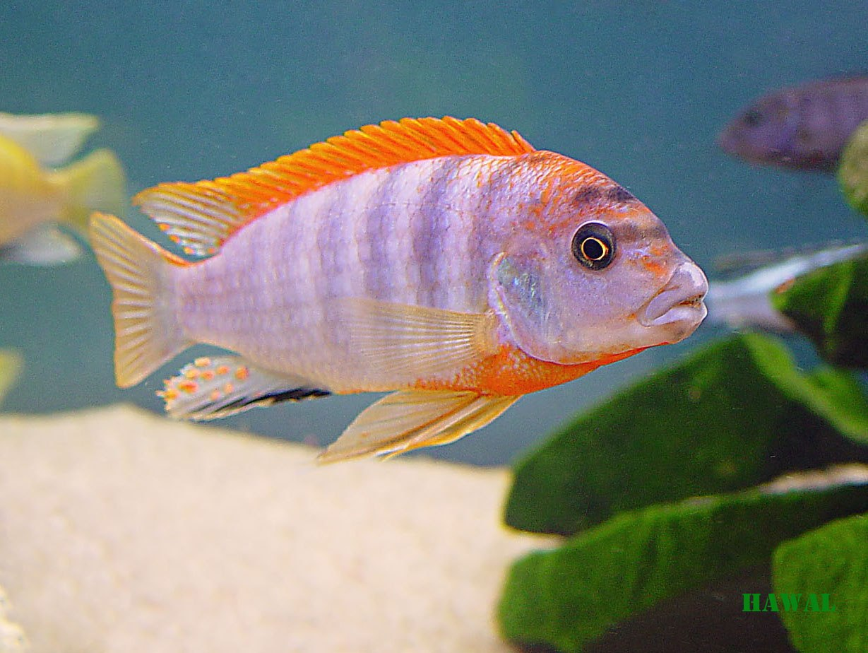 "Labidochromis hongi ""super red top"""
